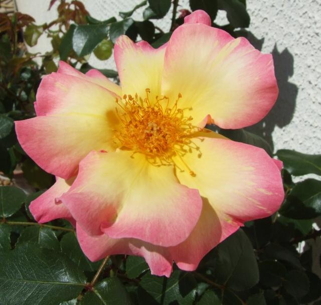 Les rosiers dans mon jardin .... 27_avr12