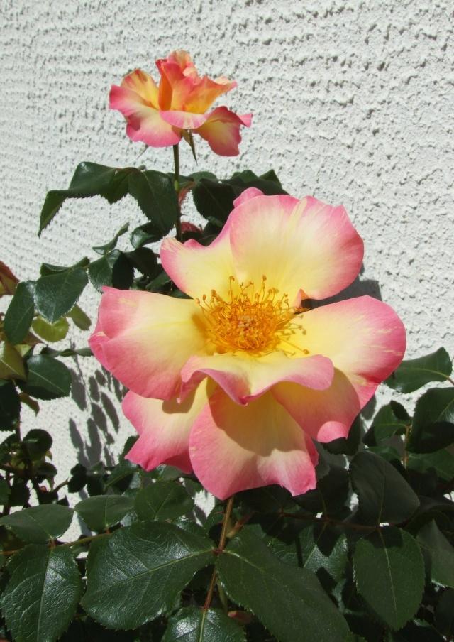 Les rosiers dans mon jardin .... 27_avr15