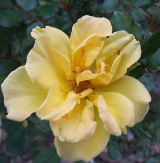 Les rosiers dans mon jardin .... 2_mai_15