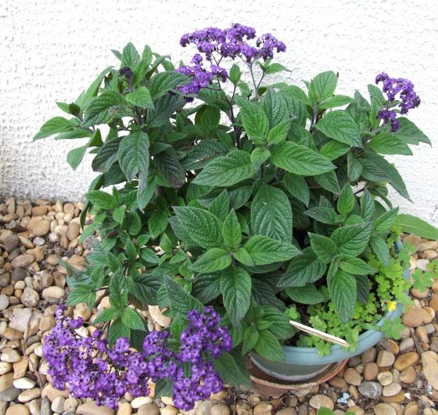 Heliotropium peruvianum 30_mai10