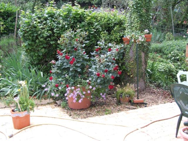 Les rosiers dans mon jardin .... 30_mai18