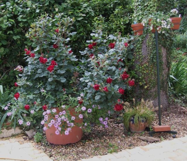 Les rosiers dans mon jardin .... 30_mai19