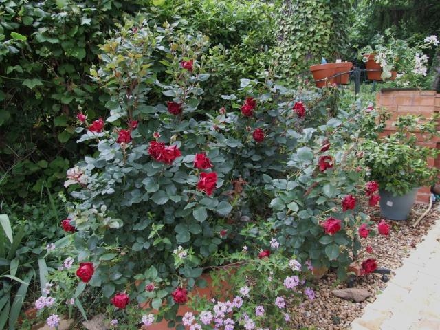 Les rosiers dans mon jardin .... 30_mai20
