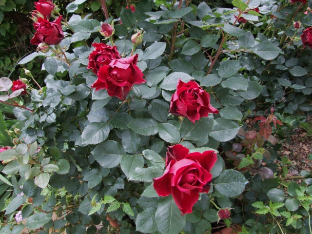 Les rosiers dans mon jardin .... 30_mai21