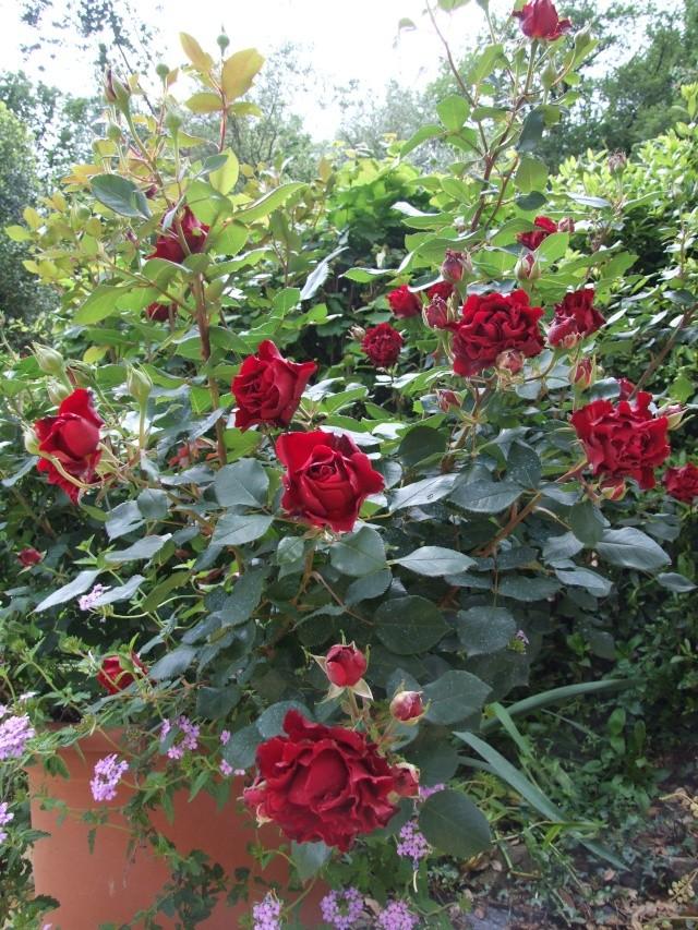 Les rosiers dans mon jardin .... 30_mai22