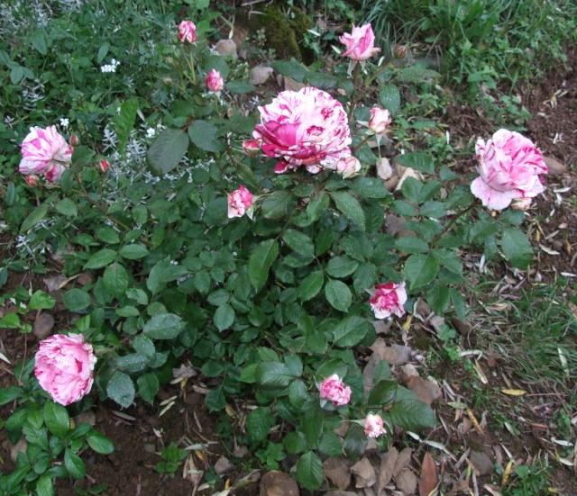 Les rosiers dans mon jardin .... 31_mai12
