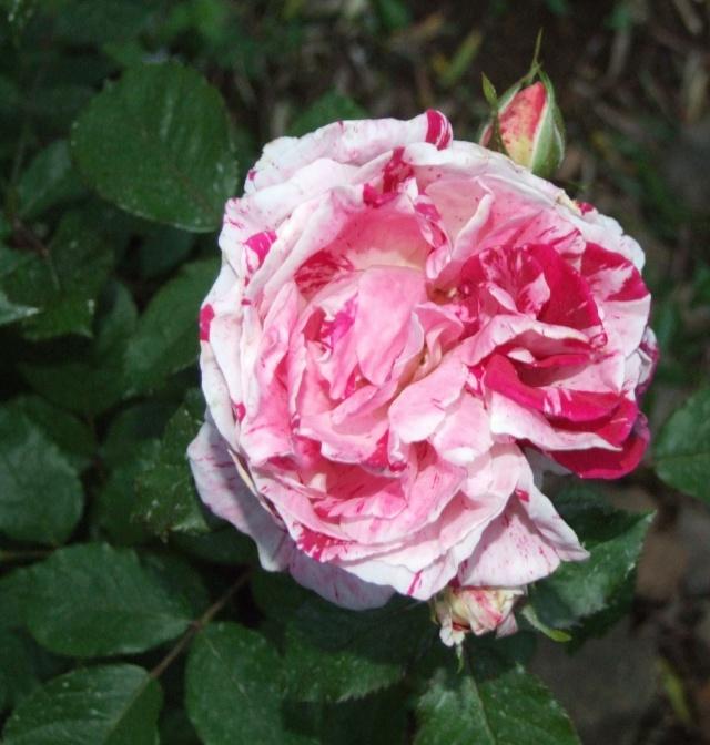 Les rosiers dans mon jardin .... 31_mai13
