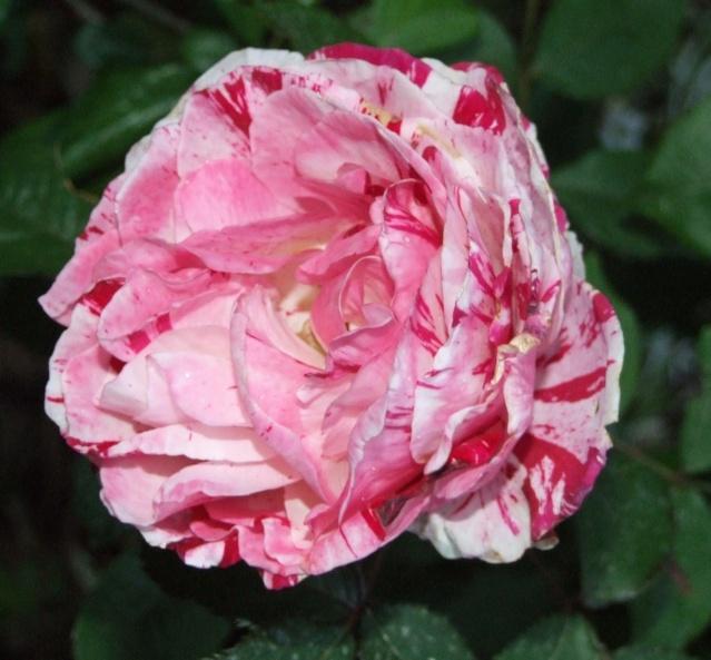 Les rosiers dans mon jardin .... 31_mai14