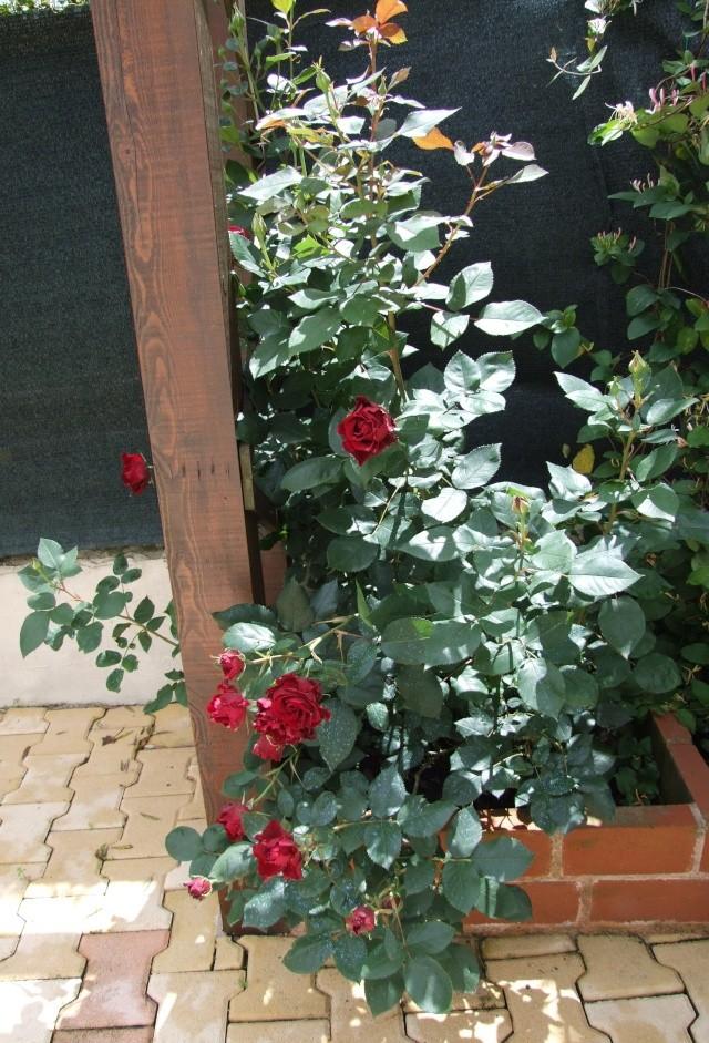 Les rosiers dans mon jardin .... 3_juin25