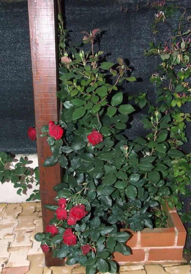 Les rosiers dans mon jardin .... 3_juin39