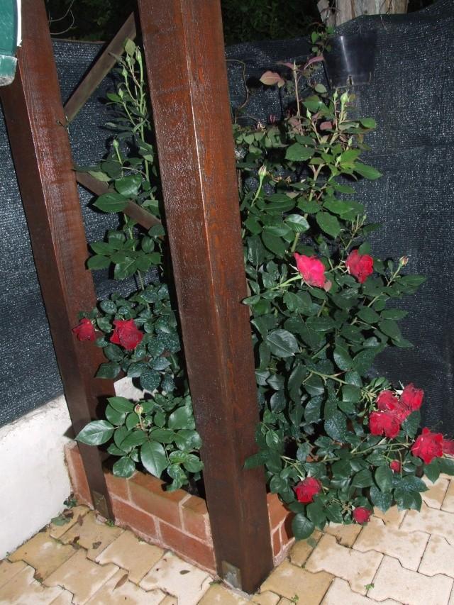 Les rosiers dans mon jardin .... 3_juin40