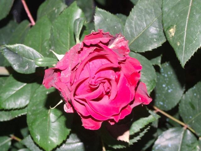 Les rosiers dans mon jardin .... 3_juin44