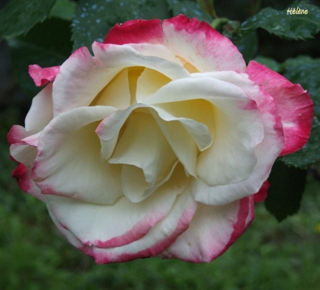 Les rosiers dans mon jardin .... 410