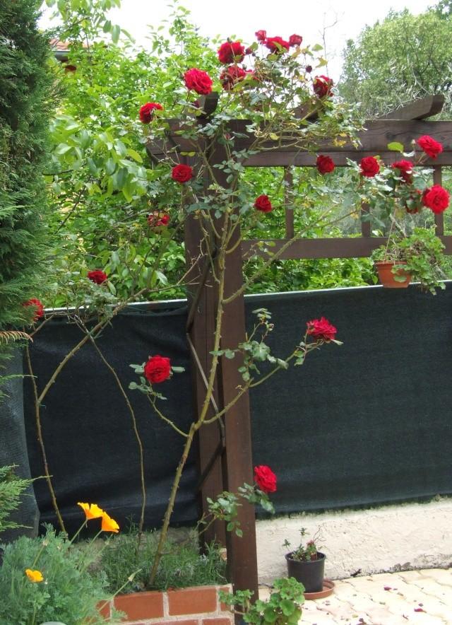 Les rosiers dans mon jardin .... 9_mai_14