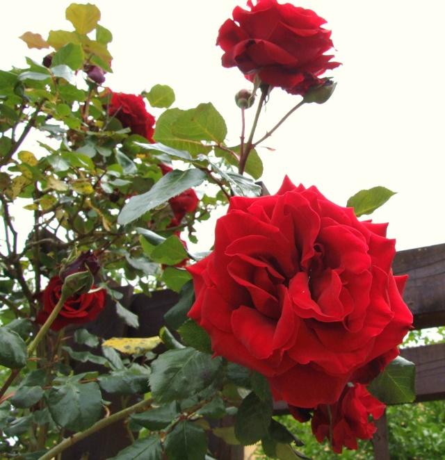 Les rosiers dans mon jardin .... 9_mai_15