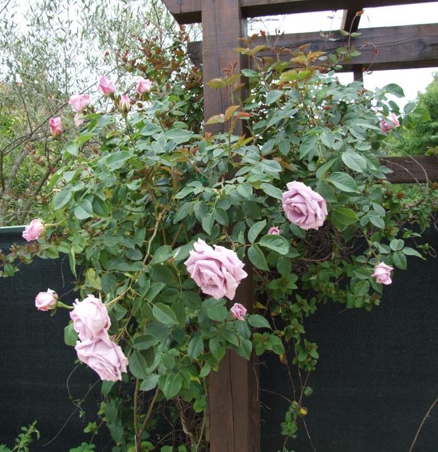 Les rosiers dans mon jardin .... 9_mai_17