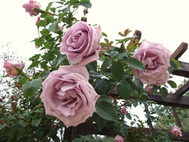 Les rosiers dans mon jardin .... 9_mai_18
