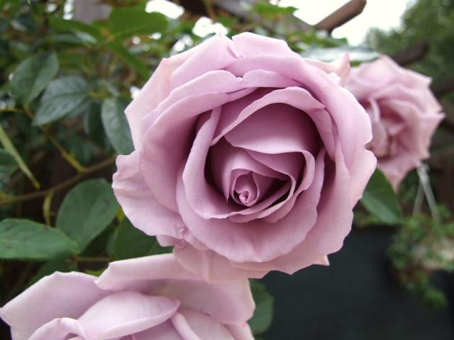 Les rosiers dans mon jardin .... 9_mai_19