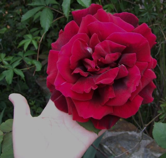 Les rosiers dans mon jardin .... 9_mai_32