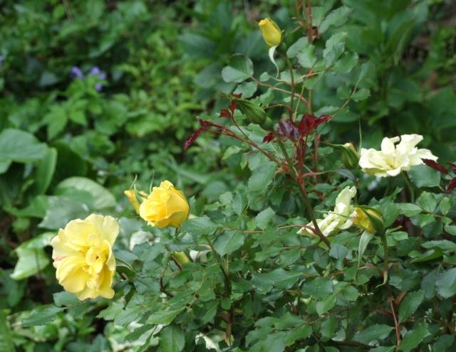 Les rosiers dans mon jardin .... 9_mai_39