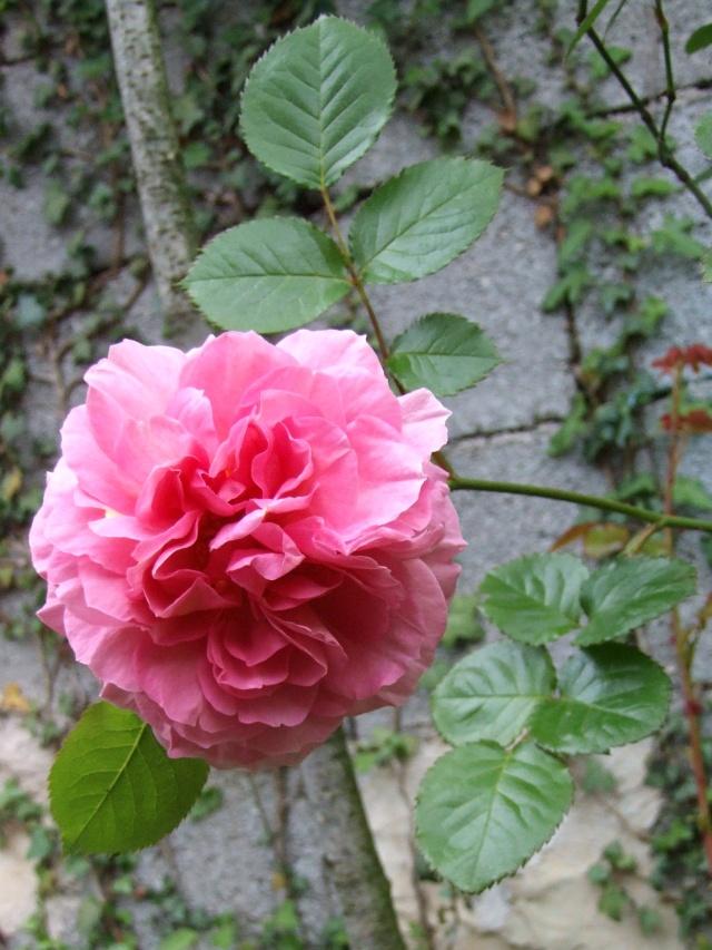 Les rosiers dans mon jardin .... 9_mai_43