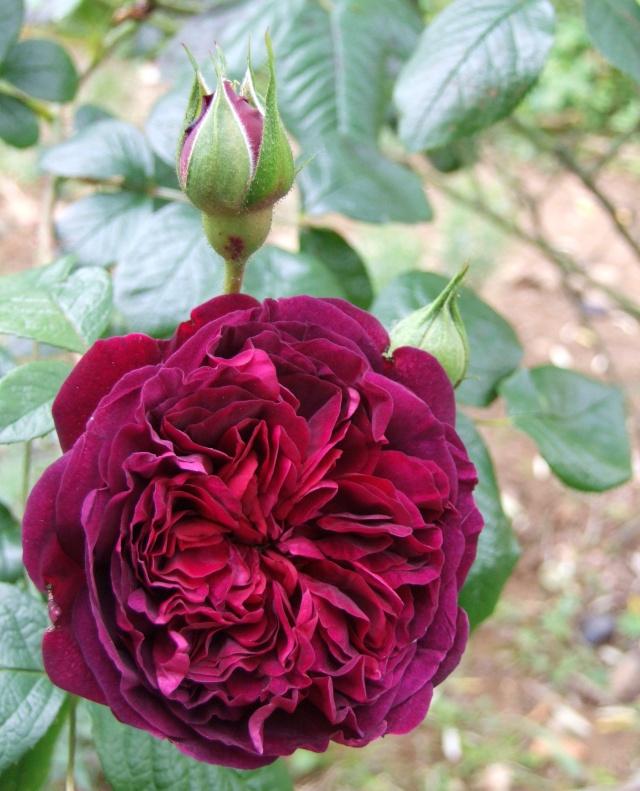 Les rosiers dans mon jardin .... 9_mai_47