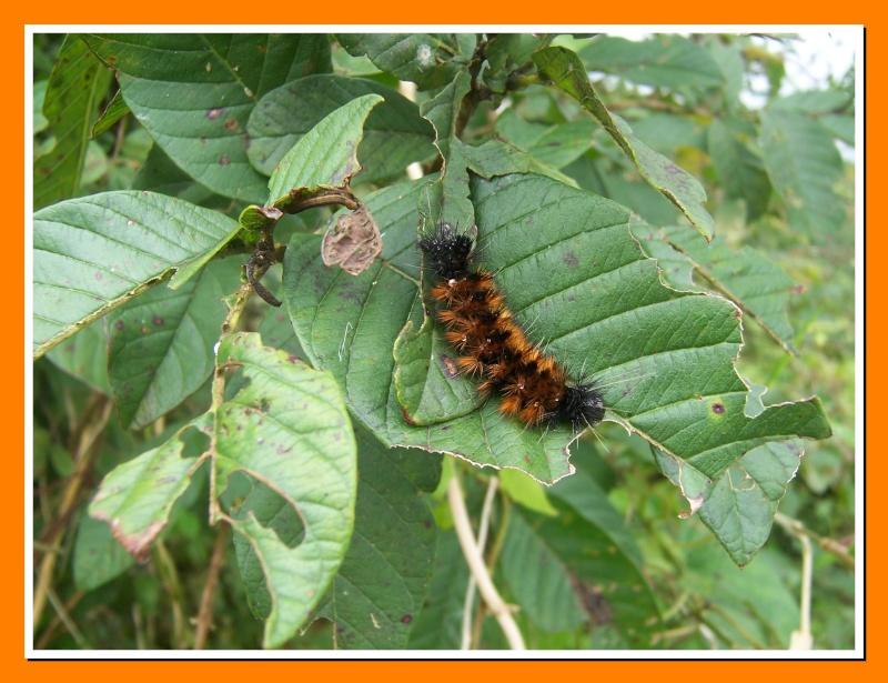 Insectes de la Martinique 9 (Morne vert, Fontaine Atilla) 100_6416