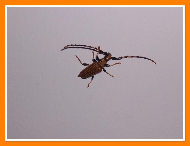 [Trachyderes(Dendrobias)maxillosus] Longi de la Martinique 100_6517
