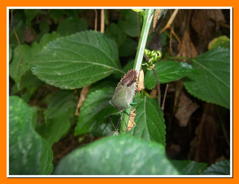 Insectes de la Martinique 16 100_7311