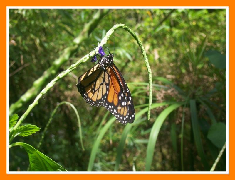 Papillon de la Martinique: Danaus plexippus tobagi 100_7414