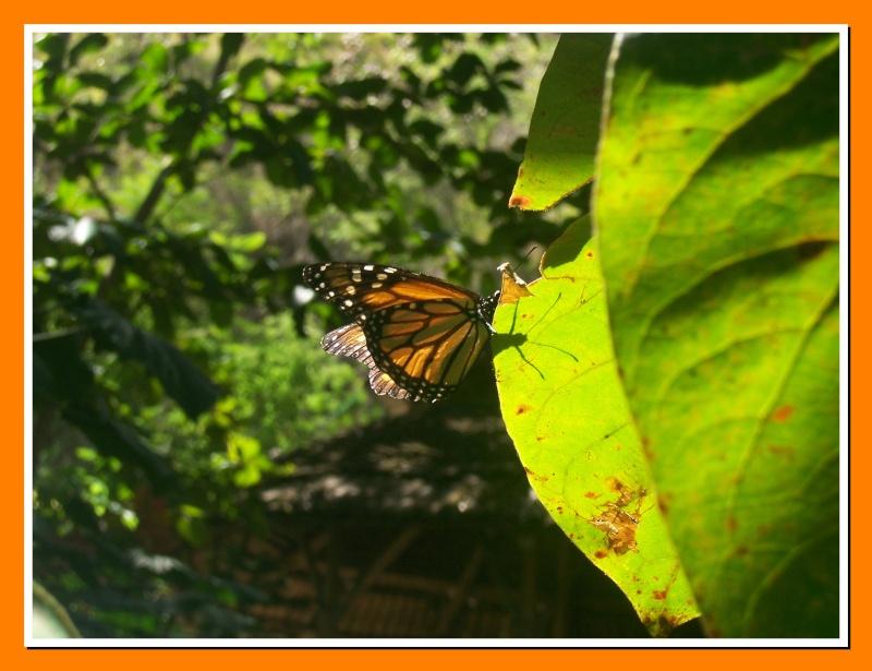 Papillon de la Martinique: Danaus plexippus tobagi 100_7415