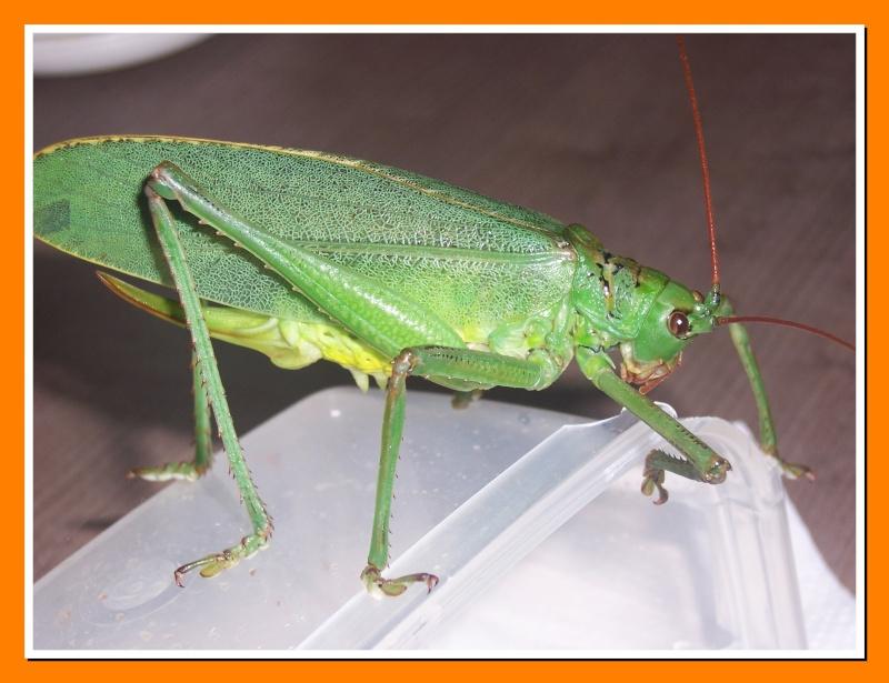 Insectes de la Martinique 16 100_7510