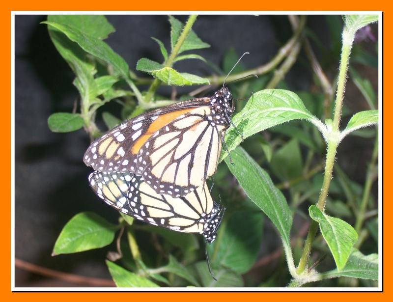 Papillon de la Martinique: Danaus plexippus tobagi 100_7514