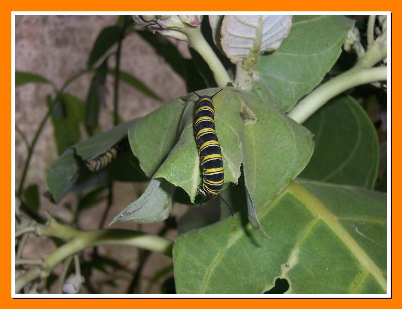 Papillon de la Martinique: Danaus plexippus tobagi 100_7515