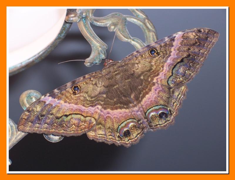 Papillon de la Martinique: Ascalapha odorata Ascala11