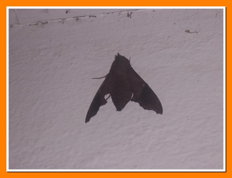 Papillon de la Martinique: Enyo lugubris Enyo_l10