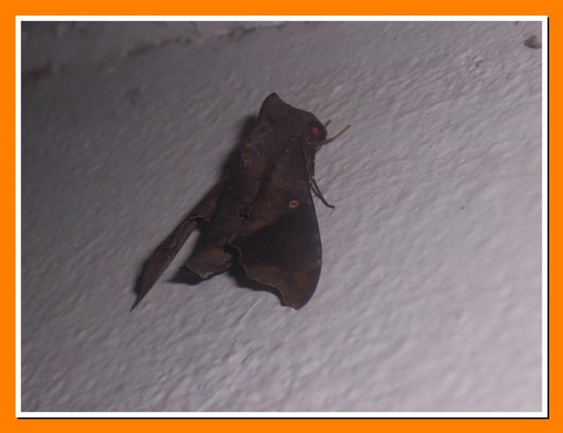Papillon de la Martinique: Enyo lugubris Enyo_l11