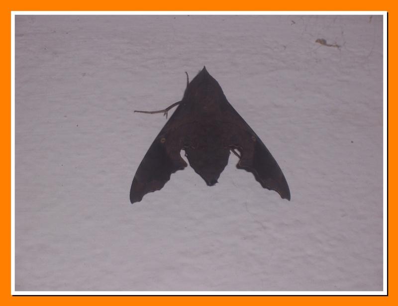 Papillon de la Martinique: Enyo lugubris Enyo_l12