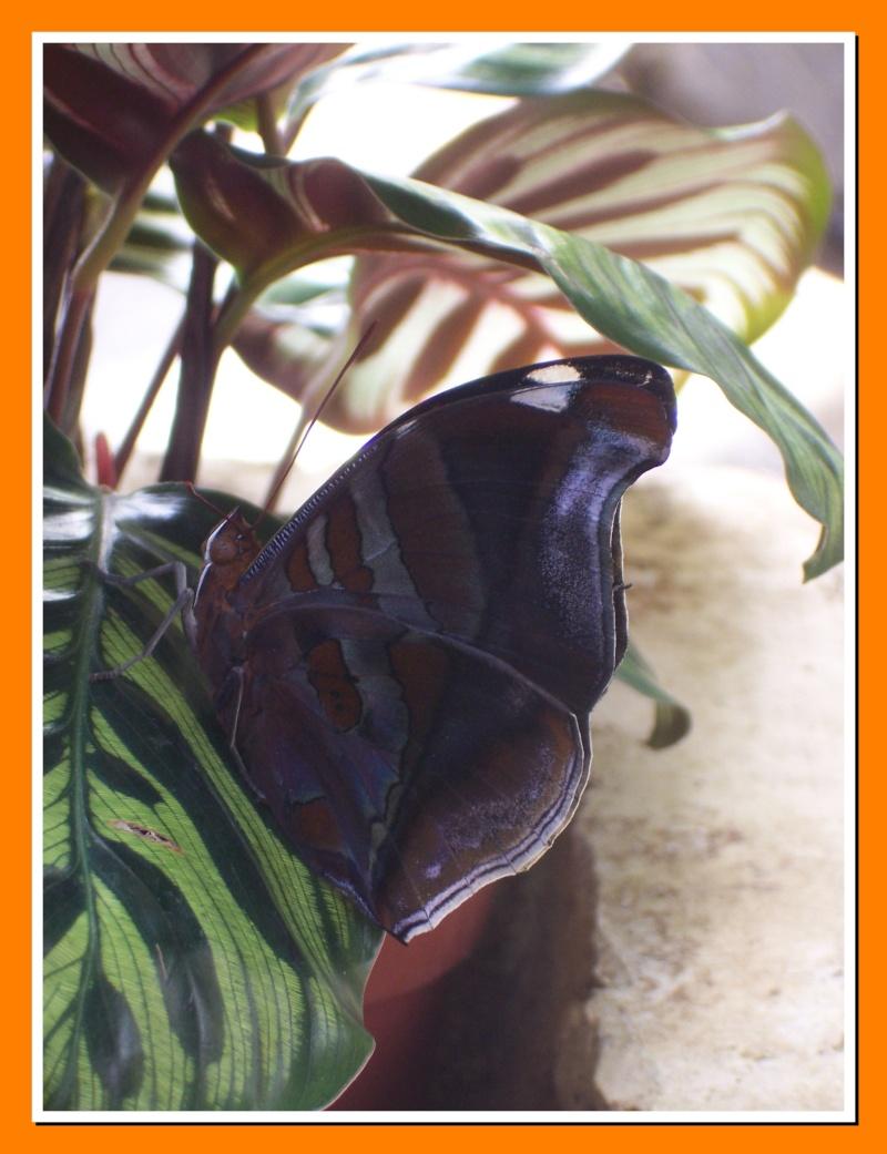 Papillon de la Martinique: Historis odius orion Histor10
