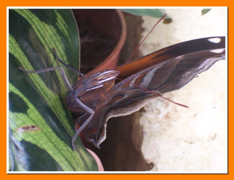 Papillon de la Martinique: Historis odius orion Histor11