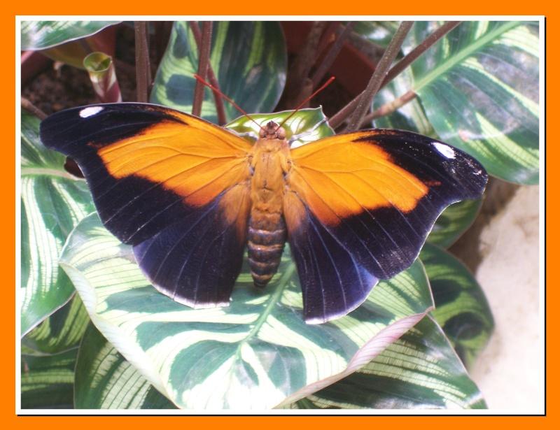 Papillon de la Martinique: Historis odius orion Histor12