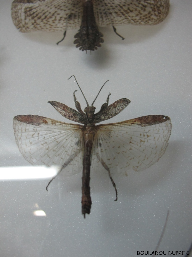 Prisopus sp (psg ?) Img_0620