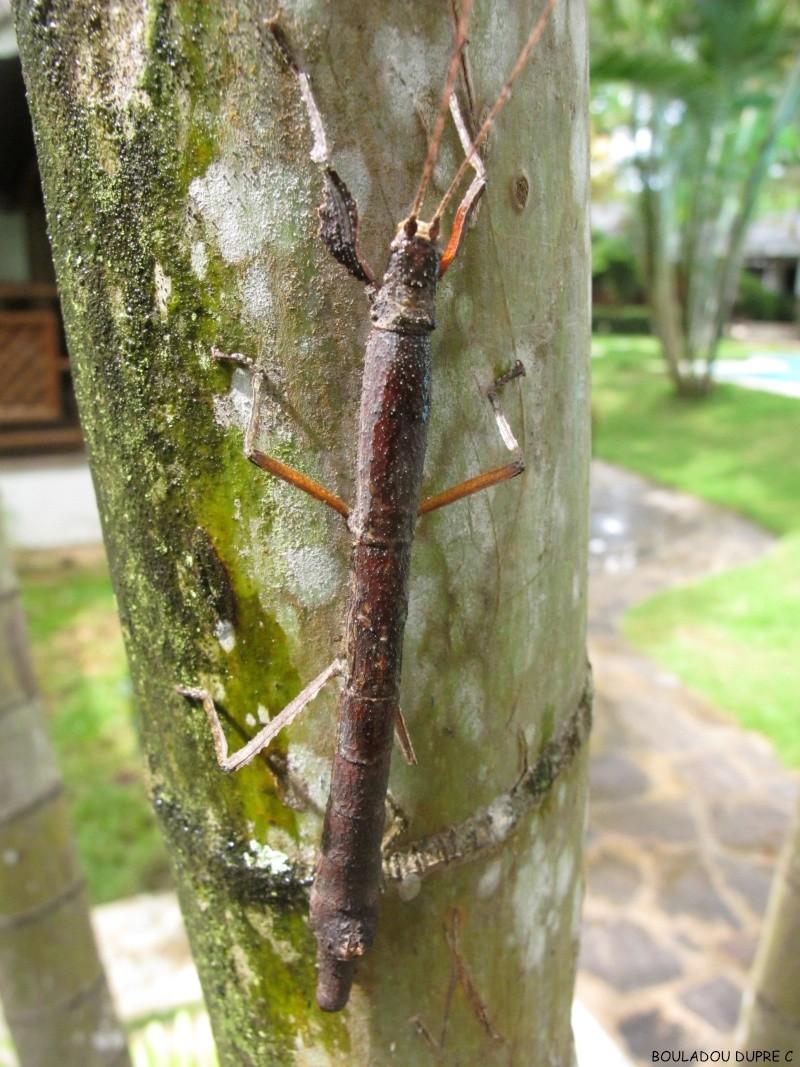 Hesperophasma sp (République Dominicaine) Img_0628