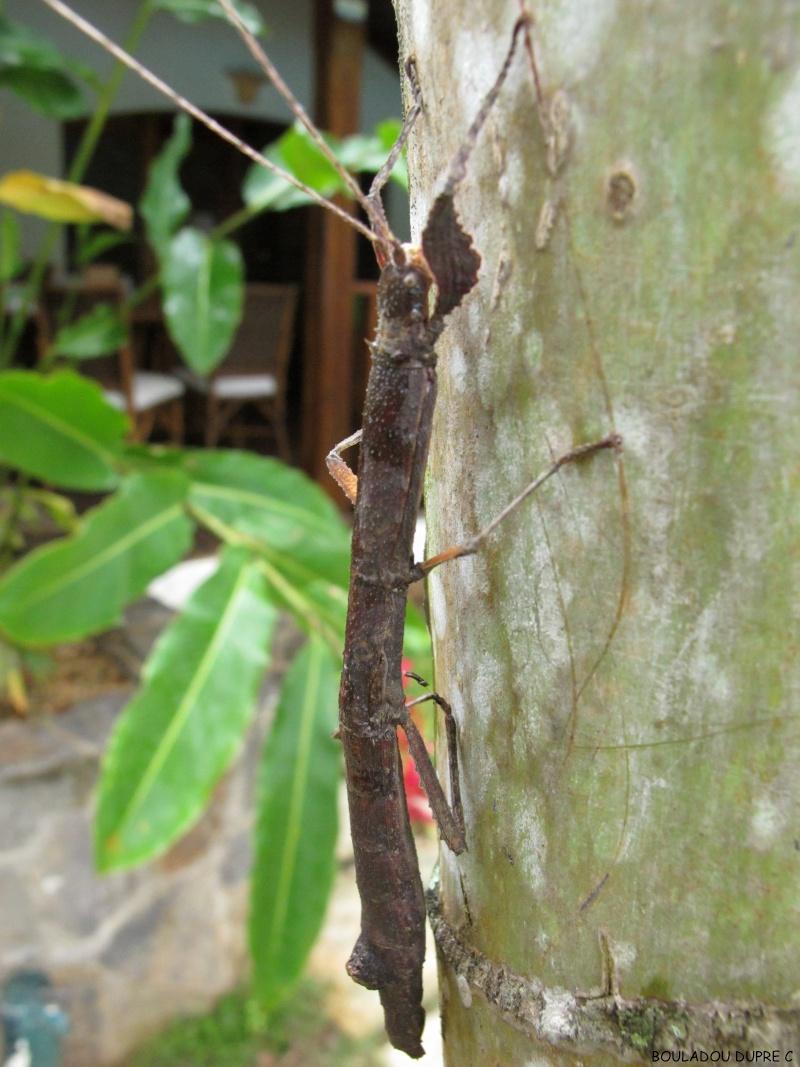 Hesperophasma sp (République Dominicaine) Img_0629