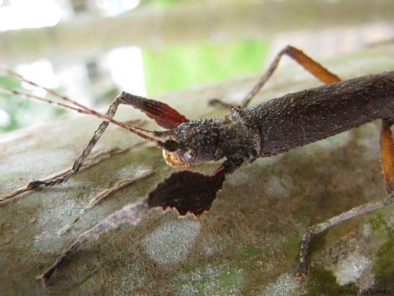 Hesperophasma sp (République Dominicaine) Img_0630