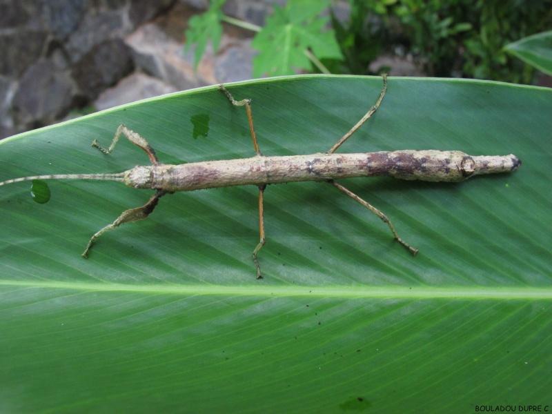 Hesperophasma sp (République Dominicaine) Img_0713