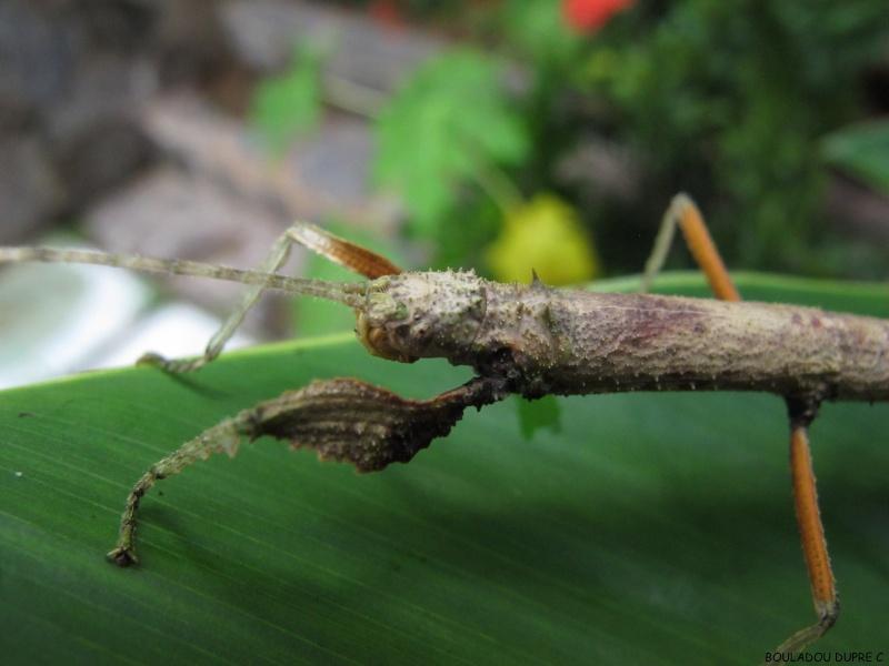 Hesperophasma sp (République Dominicaine) Img_0714