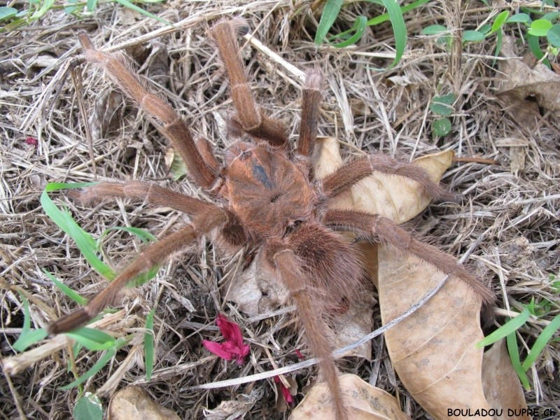 Acanthoscurria antillensis Img_3811