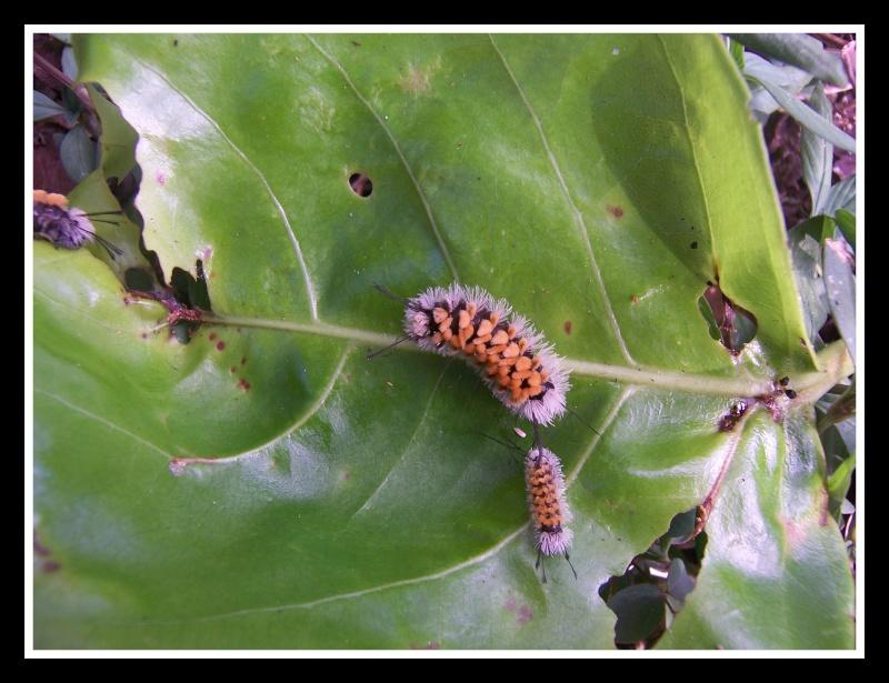 Papillon de la Martinique:Syntomeida syntomoides Syntom10