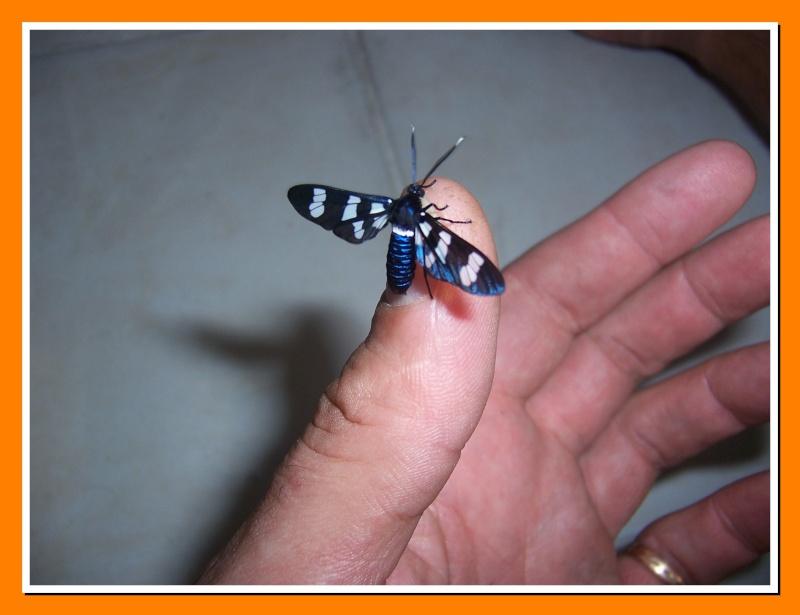 Papillon de la Martinique:Syntomeida syntomoides Syntom11